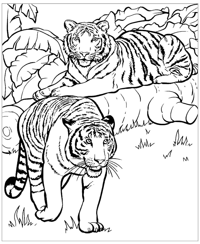 Desenho de Tigres para colorir