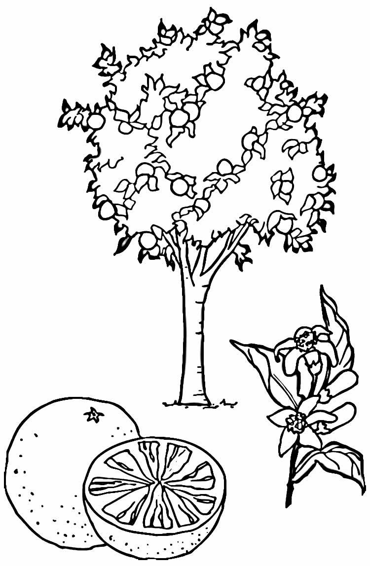 Desenho de Pé de Laranja