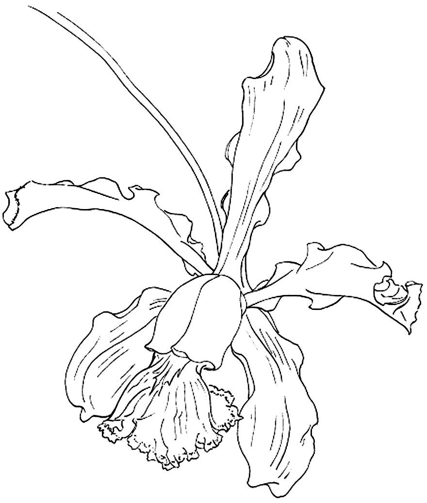 Desenho de Orquídea para colorir