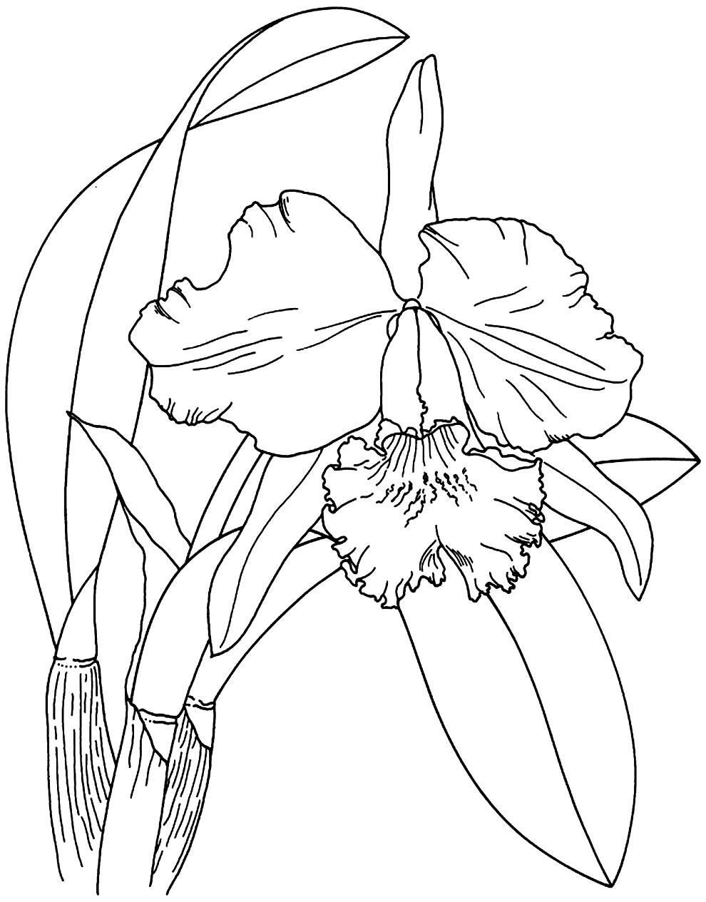 Desenho de Orquídea para pintar