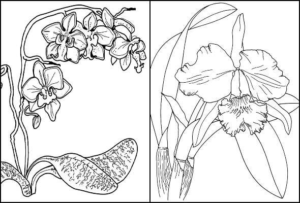 Desenhos de Orquídea para colorir